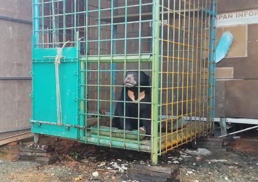 Beruang Madu Terperangkap di Kandang/ Poto : Istimewa