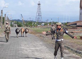 Tim Patroli Satpol PP Tarakan, Tertibkan Hewan Liar di Kawasan Masjid Islamic Center (22/7). Poto : Istimewa