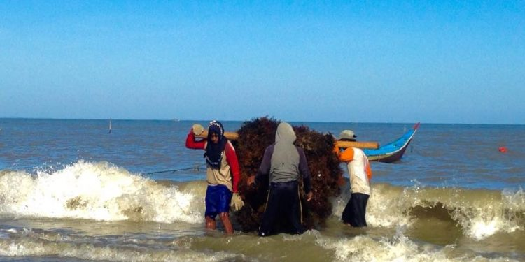 Petani Rumput Laut Tarakan. Poto : Hendrikus Pa'cik/Facebook