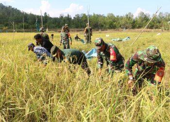Babinsa dan kelompok tani (Poktan) Tuo Maranu Kel.Mamburungan Kec.Tartim melaksanakan panen padi.Poto:Pendim 0907/Trk