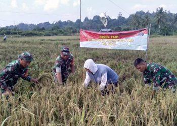 Babinsa Jajaran Kodim 0907/Trk dengan semangat ikut serta terjun langsung ke sawah bantu para petani desa binaannya saat memanen padi.Poto: Doc. Babinsa Kodim 0907/Trk
