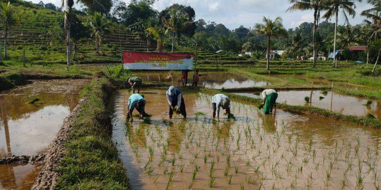 Babinsa anggota Koramil 0907/01 Tartim membantu petani menanam padi di sawah salah seorang warga yang tergabung dalam POK Tani Mapan Sejahtera. Poto : Doc. Babinsa Koramil 0907/01 Dim 0907/Trk
