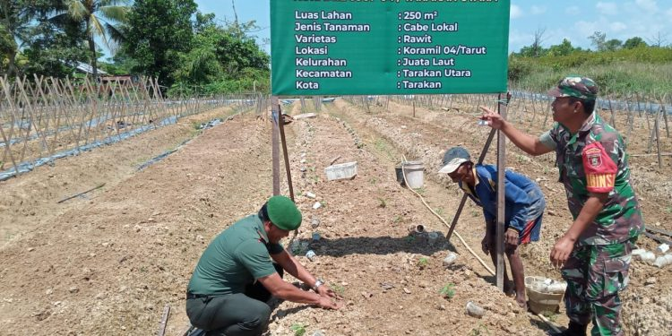 Pjs Danramil Tarakan Utara, Lettu Czi Jaffar Maluru bersama Babinsa membantu warga binaan tanam cabai di lahan Demplot Kodim 0907/Trk.Poto:Pendim 0907/Trk