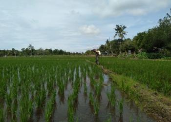 Sertu Supriadi Membantu Petani menyemprot tanaman padi di lahan sawah milik Alimudin anggota Kelompok Tani (Poktan) Mekar Jaya RT.16 Kel.Mamburungan Kec.Tarakan Timur.Poto: Doc. Babinsa Dim 0907/Trk.