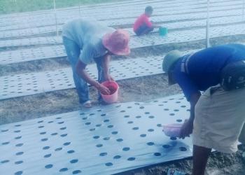 KOMODITAS LOKAL : Kegiatan penanaman komoditas bawang lokal di salah satu wilayah pertanian di Kaltara. Poto : Humas Provinsi Kaltara