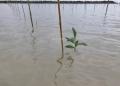REBOISASI : Kondisi hutan mangrove kritis di Sebatik yang telah direboisasi Dishut Kaltara. Poto: Humas Provinsi Kaltara
