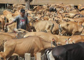 SIAP POTONG : Puluhan ekor sapi pengadaan DPKP Kaltara dikarantina di Jalan Sabanar Lama, Tanjung Selor. Foto : Humas Pemprov Kaltara