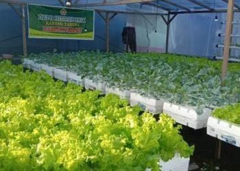 Sayuran Hidroponik Karang Taruna Kp 4. Poto: Istimewa