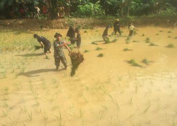 Babinsa Koramil 0907/02 Tarteng Sertu Arifin Rgg dengan membantu menanam padi perdana. Foto: Doc.Babinsa