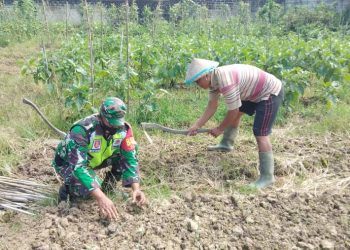 Babinsa jajaran Kodim 0907/Trk terus lakukan tugasnya dengan melakukan pendampingan terhadap para petani diwilayah binaaan masing-masing. Foto: Doc.Babinsa