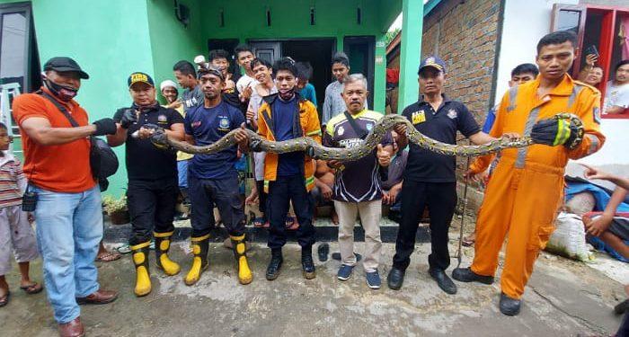 Tim Damkar dan Penyelamatan Tarakan Berhasil Evakuasi Ular Piton Panjang 4 Meter. foto: Istimewa/Damkar Tarakan