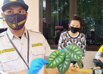 Petugas BKP Menunjukan Tanaman Alocasia Sebelum Dikirim Penjual. Foto: Fokusborneo.com