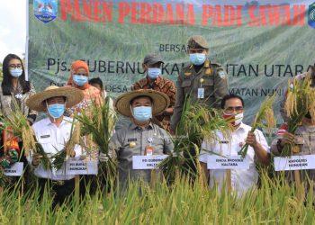 Panen padi sawah perdana Sei Apuk Desa Ujang Fatimah. Foto: Humas Pemprov Kaltara