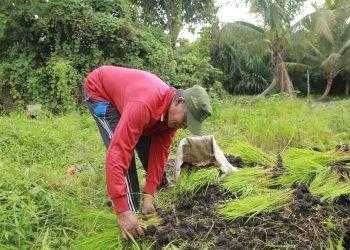 POTENSI PERTANIAN : Aktivitas salah satu petani padi di Kaltara. Foto : Humas Provinsi Kaltara