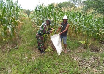 Babinsa Koramil 0907/04 Tatut, Koptu Simanjuntak, membantu panen jagung milik warga RT.21 Kelurahan Juata Permai, Rabu (30/12/2020). Foto: Doc.Babinsa