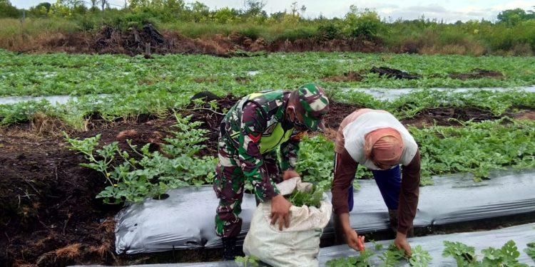 Koptu Simanjutak, Babinsa Koramil 0907/04 Tarakan Utara melakukan pendampingan terhadap petani semangka. Foto : Doc. Babinsa Koramil 0907/04 Tarut