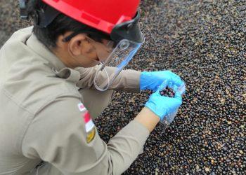 Petugas karantina pertanian Tarakan Wilker Berau melakukan pemeriksaan palm kernel. Foto: Karantina Pertanian