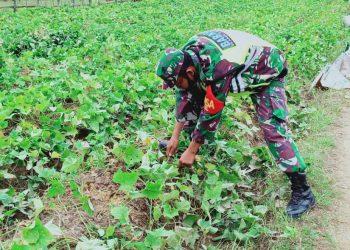 Babinsa Koramil 0907/04 Tarakan Utara, membantu panen ubi jalar di kebun milik Hamid warga RT 18.Kel.Juata Laut.Foto: ist