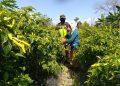 Babinsa Koramil 0907/04 Tarakan Utara, membantu petani panen cabai di lahan milik salah satu warga RT.18 Kel.Juata Permai. Foto: Penerangan Kodim 0907 Tarakan