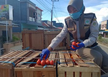Personil karantina pertanian Tarakan, saat melakukan pengecekan tomat yang akan di ekspor. Foto: Ist
