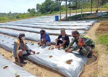 Babinsa Kodim 0907 Tarakan, memberikan pendampingan kepada petani tentang budidaya tanaman cabai di daerah Mamburungan. Foto: Ist