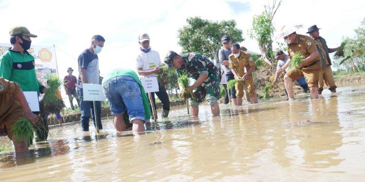 Wakil bupati Tana Tidung, Hendrik bersama Dandim 0914/Tnt dan Kadis Pertanian KTT, melakukan tanam padi di Desa Tideng Pale Seberang.