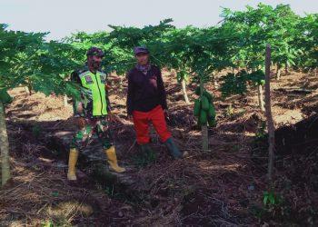 Babinsa Koramil 0907/02 Tartut dampingi Petani Pepaya.Foto:doc. Babinsa